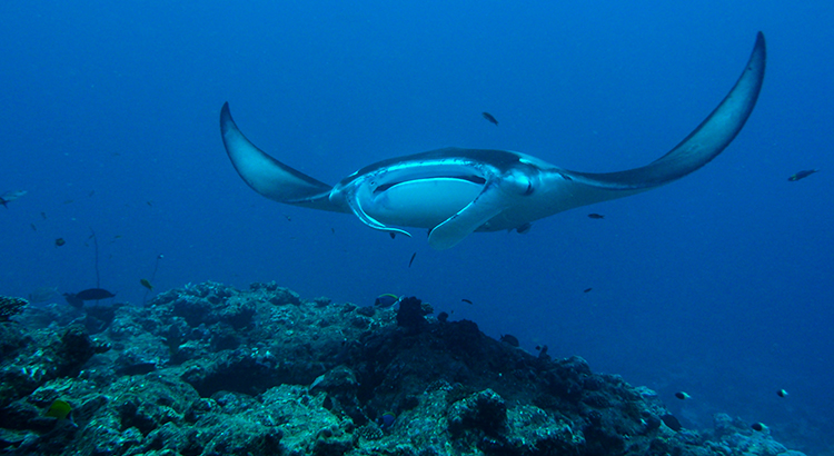Mantarochen im Baa-Atoll (Foto: Milaidhoo Maldives, beigestellt)
