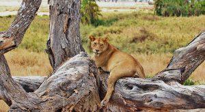 Entspannte Löwin (F: pixabay_mariamichelle)