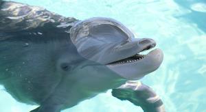 Winter, die Delfin-Dame (Foto: visitstpeteclearwater.com)