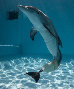 Winter, die Delfin-Dame im Clearwater Marine Aquarium (Foto: visitstpeteclearwater.com, beigestellt)